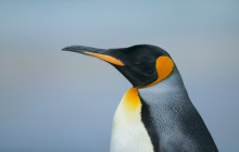 Pinguin / Linux