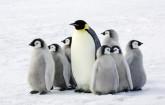 Pinguine im Eis